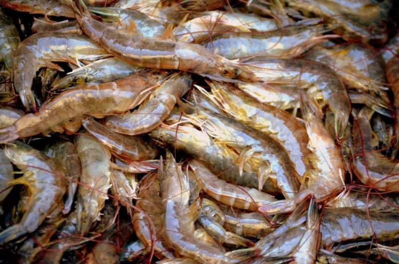 piled of shrimp contaminated